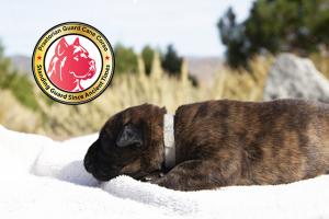 Reno Nevada Cane Corso Puppy For Sale